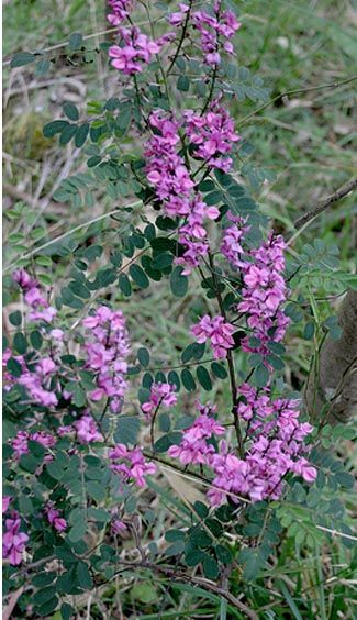 Indigofera, imported by the Romans from the east, the purer form of Indigo didn't threaten European indigo from woad until the late 16th century